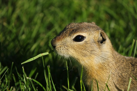 gopher: A gopher eating grass in Alberta Stock Photo