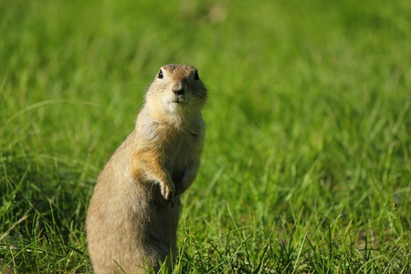 A curious gopher looking towards the viewer photo
