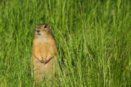 A wary gopher on watch photo