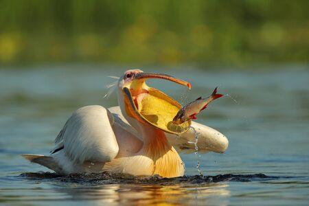 Pelikan (Pelecanus onocrotalus) im natürlichen Lebensraum Standard-Bild