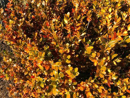 Fall colored shrub close up