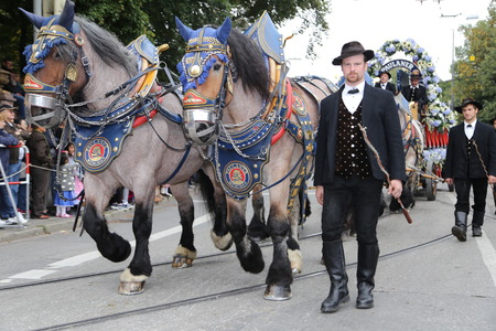 wiesn: Draught horses from local Munich breweries taking part in the annual Traditional costume parade on the first weekend of Oktoberfest in Munich, Bavaria on the 20th Sept 2015