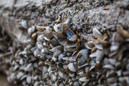 Small river mussels are stuck on the surface of the shore. A large number of empty seashells. Old log on the shore