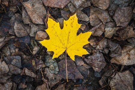 One yellow maple leaf lies on other rotten leaves. Late fall