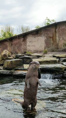 Asian Short Clawed Otter sat on a stone surrounded by water looking at the surroundings. Stock Photo - 142390744