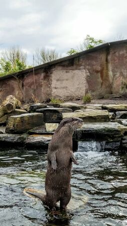 Asian Short Clawed Otter sat on a stone surrounded by water looking at the surroundings.