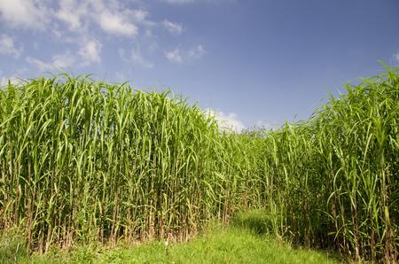 Field of Biomass Fuel