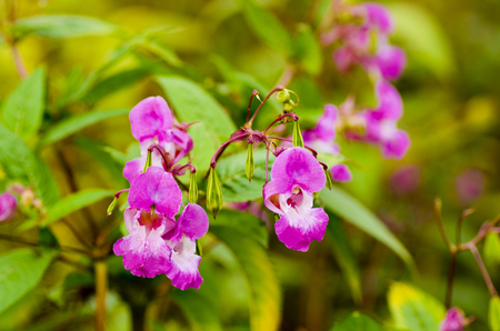 impatiens: Policemans helmet or Impatiens Glandulifera also known under other names Gnomes Hatstand is a wild flower found round many river banks and has a small delicate pink flower. Stock Photo