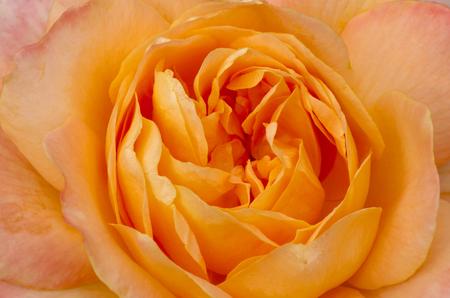 color photographs: Beautiful Yellow Peace Rose Stock Photo