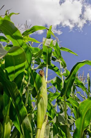 planta de maiz: El maíz planta de maíz con el maíz en el tallo Foto de archivo