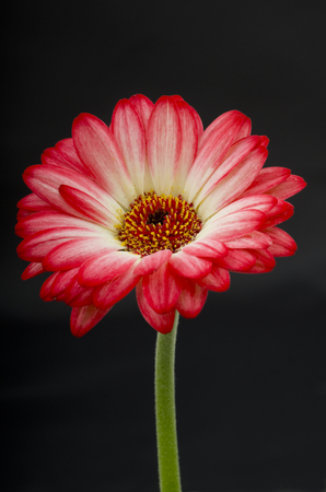 The Gerbera is a popular flower with florists due to the boldness of the colors and the time it lasts after being cut