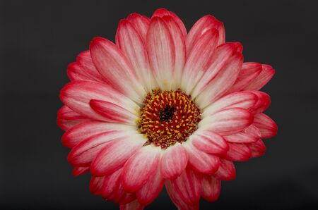 boldness: The Gerbera is a popular flower with florists due to the boldness of the colors and the time it lasts after being cut