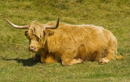 heifers: Highland Cow