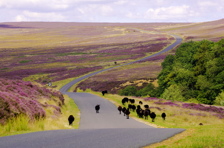 Black Sheep walking down the road over Spaunton Moor, just above Hutton Le Hole on the North York Moors Stock Photo