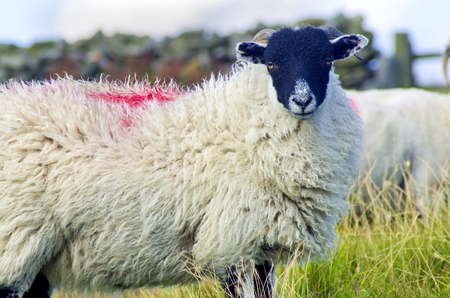 moors: Swaledale Sheep are a hardy breed, found here on the North York Moors, Yorkshhire Stock Photo