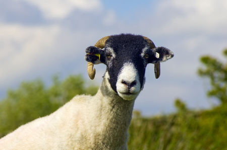 Swaledale Sheep are a hardy breed, found here on the North York Moors, Yorkshhire 写真素材