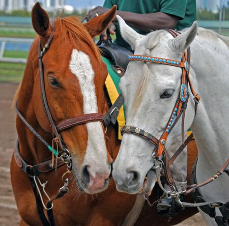 racehorses: Outrider Ponys waiting to lead racehorses to the starting gate post parade.