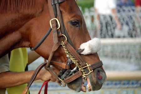 racehorses: Portrait of a Thoroughbred Racehorse Stock Photo