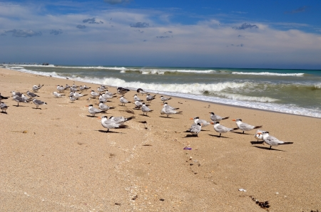 swept: Gulls and terns hunkering down on a wind and storm swept southeast florida beach
