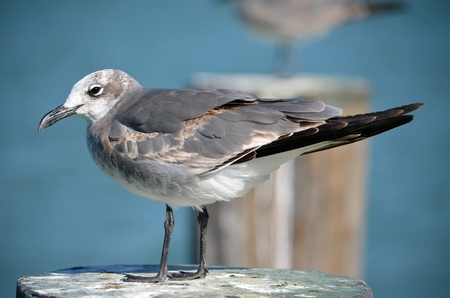 seabirds: Seagull standing on a wood piling in a southeast florida marina Stock Photo