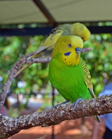 budgie: yellow and green budgerigar resting on a tree limb in a southeast florida