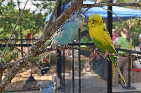 aviary: a blue and a yellow budgerigar in a small aviary at a southeast florida zoo.