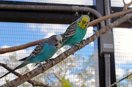 aviary: Two blue budgies roosting on a tree branch in a small aviary at a southeast florida zoo Stock Photo