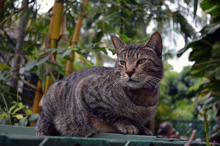 a six toed grey striped tabby