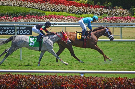 horse racing: Two thoroughbreds easing up after a one mile race of grass at a southeast florida racetrack