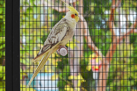 Cockatiel roosting in an aviary devoted to Cockatiels at a southeastern florida zoo.