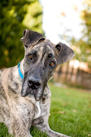 Great Dane looking inquisitively at camera in his back yard domain