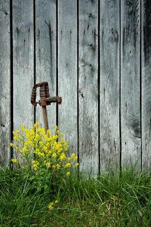 Old water pump reaches out of yellow flowers beside an old weathered barn.