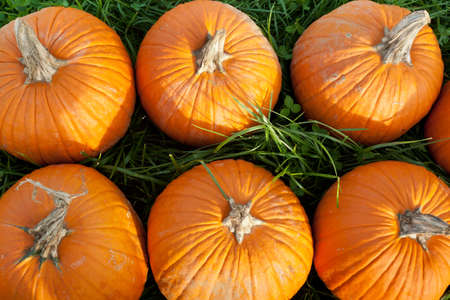 A top view of six large pumpkins in the grass
