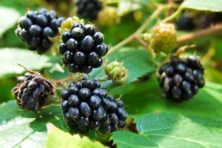 blackberries Stock Photo