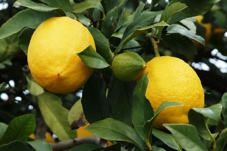a tree with lemons Stock Photo