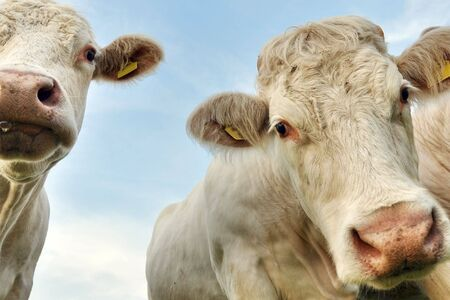two cows, blue sky Stock Photo