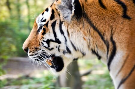 a tiger go for a walk in the wood