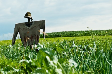 a scarecrow on a field where cultivated vegetables