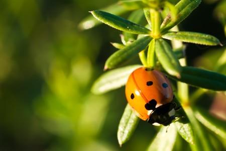 septempunctata: a ladybug (seven point) on a plant; sientific name: Coccinella septempunctata