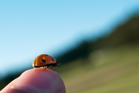 a ladybug (seven point) on a knuckle; sientific name: Coccinella septempunctata