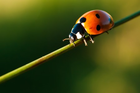 a ladybug (seven point) on a blade of grass; sientific name: Coccinella septempunctata Stock Photo