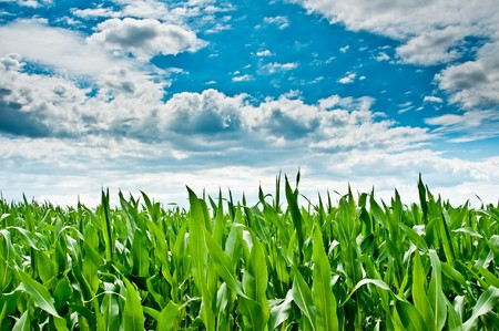 A cornfield. The sky is covered with clouds.