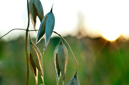 A detail of an Oat. The sun is in the background Stock Photo