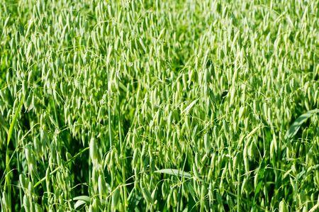 haver veld: Een deel van een veld van haver