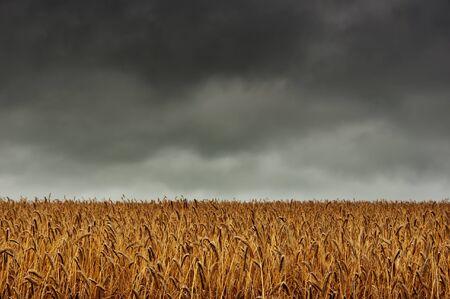 A corn field. In the background dark, overcast sky Stock Photo