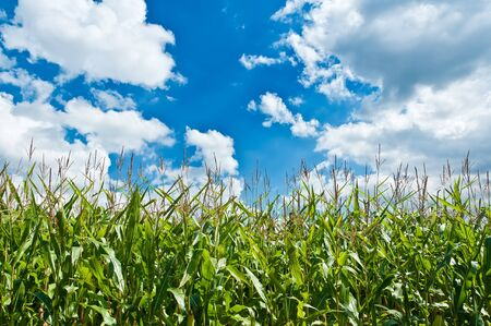 A cornfield. In the background beaming blue sky. It is cloudy