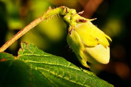 A hazelnut (Corylus avellana) in closeup Stock Photo