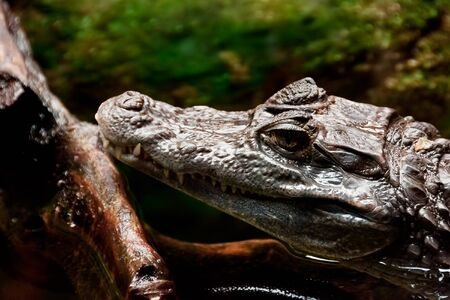 A cayman (Caiman) lies in the water and stretch out his head