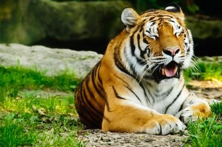A tiger (Panthera Tigris) lies at the ground. He yawns