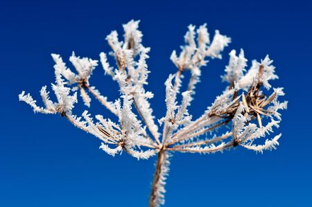 Hoarfrost on a plant. The sky is beaming blue Stock Photo